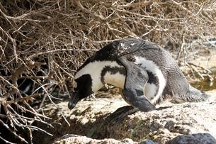 ケープポイントのケープペンギンの写真素材 [FYI00231029]