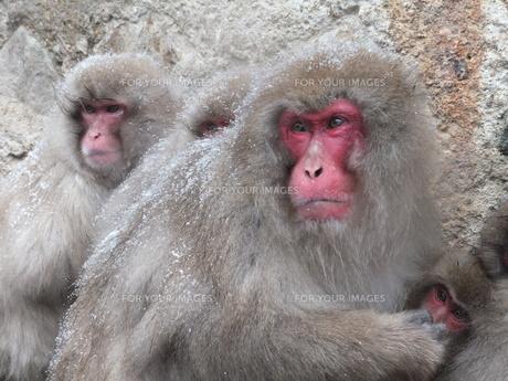 「守る」猿の一家の素材 [FYI00231102]
