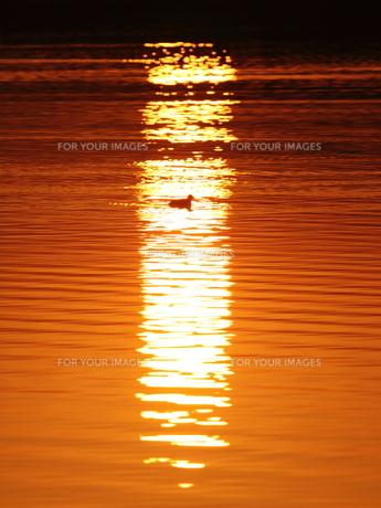 一羽の水鳥の写真素材 [FYI00231203]