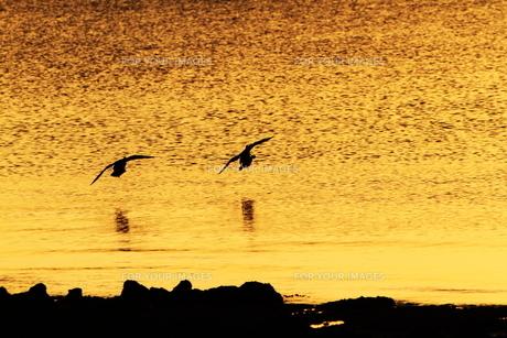 ゴールドの海をランデブーの写真素材 [FYI00231206]