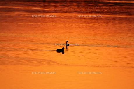 オレンジ色の湖に泳ぐの写真素材 [FYI00231210]