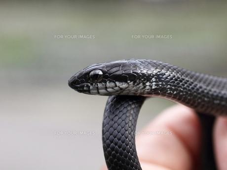 シマヘビの写真素材 [FYI00231222]