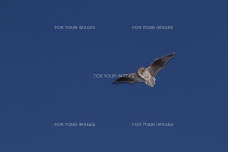 コウモリの飛翔の写真素材 [FYI00231233]