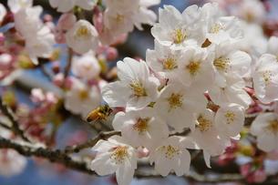 桜、卒業、入学の季節②の写真素材 [FYI00231261]