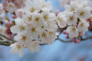 桜、卒業、入学の季節の写真素材 [FYI00231280]