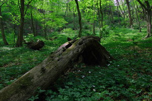 初夏の外秩父の新緑、二輪草自生地の写真素材 [FYI00231289]