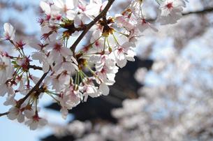 桜の写真素材 [FYI00231293]