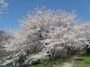 酒津公園の桜の写真素材 [FYI00231381]