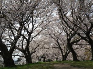 酒津公園の桜の写真素材 [FYI00231382]