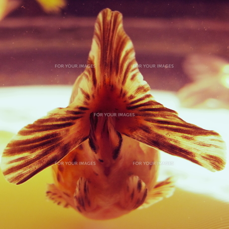 金魚のおしりの写真素材 [FYI00231420]