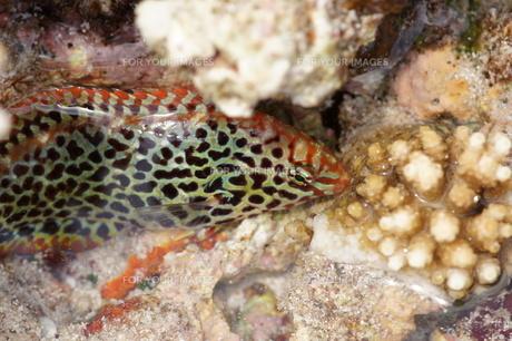 宮古島八重干瀬の珊瑚の写真素材 [FYI00231493]