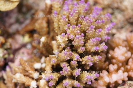 宮古島八重干瀬の珊瑚の写真素材 [FYI00231524]
