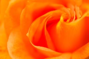 美しいオレンジのバラの花びらの写真素材 [FYI00231531]