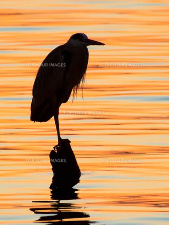 夕照の湖面に立つアオサギのシルエットの写真素材 [FYI00231535]