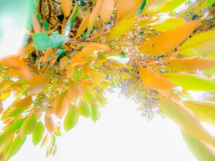 葉を照らす夏の輝きの写真素材 [FYI00231546]