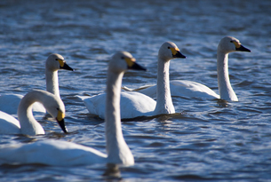 Beautiful five white swans on a lakeの写真素材 [FYI00231552]