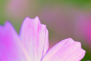 コスモスの花びらのクローズアップの写真素材 [FYI00231561]