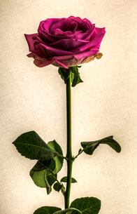 ヴィンテージホワイトバックでの美しい赤紫のバラの写真素材 [FYI00231566]