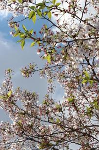 葉桜の素材 [FYI00231681]
