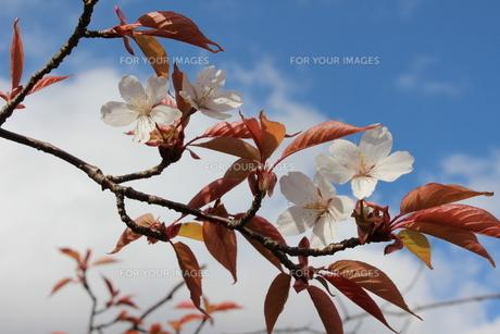 桜の素材 [FYI00231687]