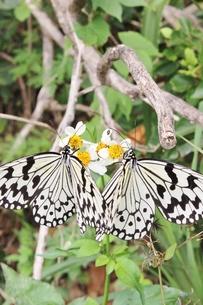 蝶の素材 [FYI00231688]