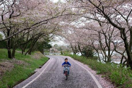 桜トンネルをサイクリングの写真素材 [FYI00231714]