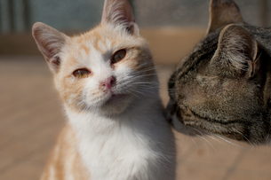 仲良しネコの写真素材 [FYI00231735]