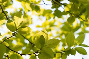 新緑の写真素材 [FYI00232086]