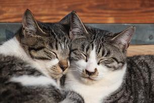 頬を寄せ合う猫の写真素材 [FYI00232115]