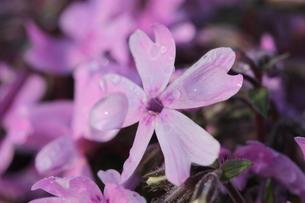 一輪の芝桜の写真素材 [FYI00232140]