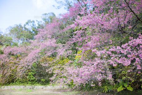 沖縄の桜の素材 [FYI00232192]