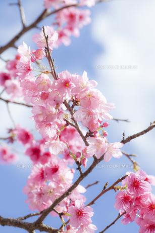 沖縄の桜の素材 [FYI00232193]