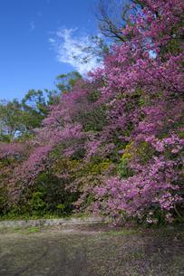 沖縄の桜の素材 [FYI00232199]