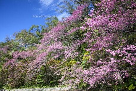 沖縄の桜の素材 [FYI00232208]
