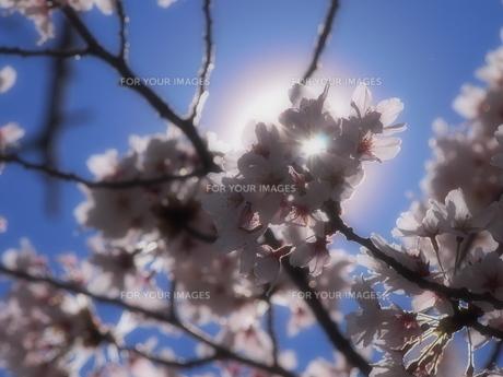 花の光の写真素材 [FYI00232222]