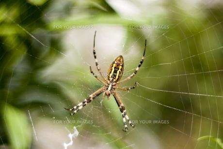ナガコガネグモの雌の写真素材 [FYI00232227]