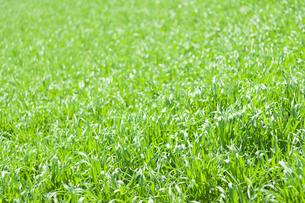 太陽に輝く草の写真素材 [FYI00232271]