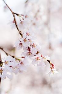 枝垂れ桜の写真素材 [FYI00232282]