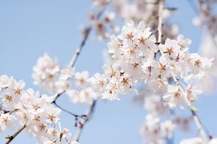 枝垂れ桜の写真素材 [FYI00232289]
