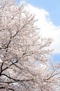 桜の写真素材 [FYI00232298]