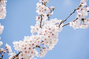 桜の写真素材 [FYI00232309]