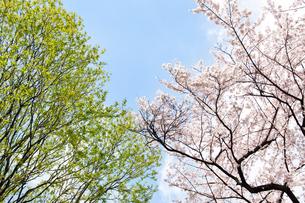 桜と新緑の写真素材 [FYI00232316]