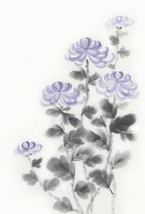 菊の写真素材 [FYI00232319]