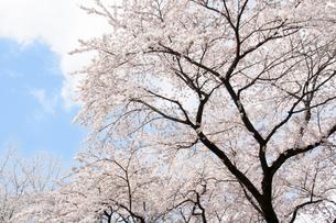 桜の写真素材 [FYI00232320]