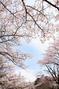 桜の写真素材 [FYI00232323]