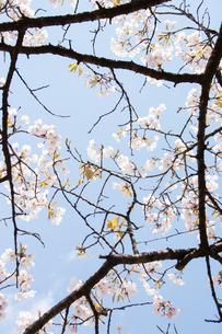 桜のフレームの写真素材 [FYI00232326]