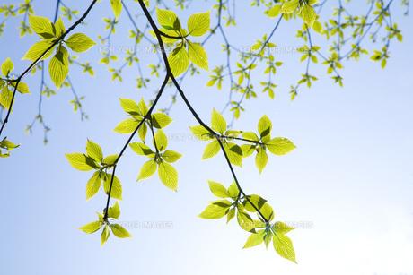 ブナの枝葉の素材 [FYI00232543]