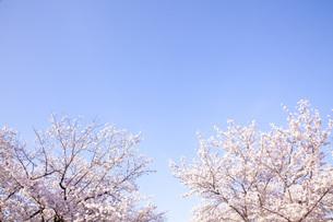 桜ソメイヨシノの素材 [FYI00232595]