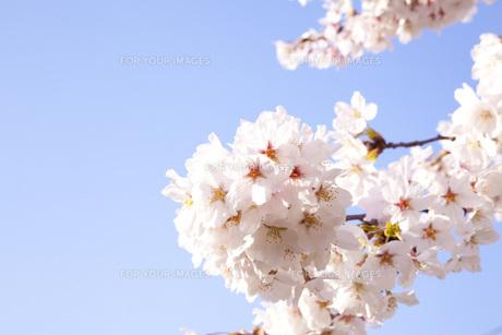 桜ソメイヨシノの素材 [FYI00232598]