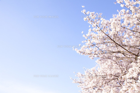 桜ソメイヨシノの素材 [FYI00232601]